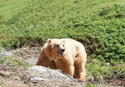 Napa, le dernier ours de Serbie