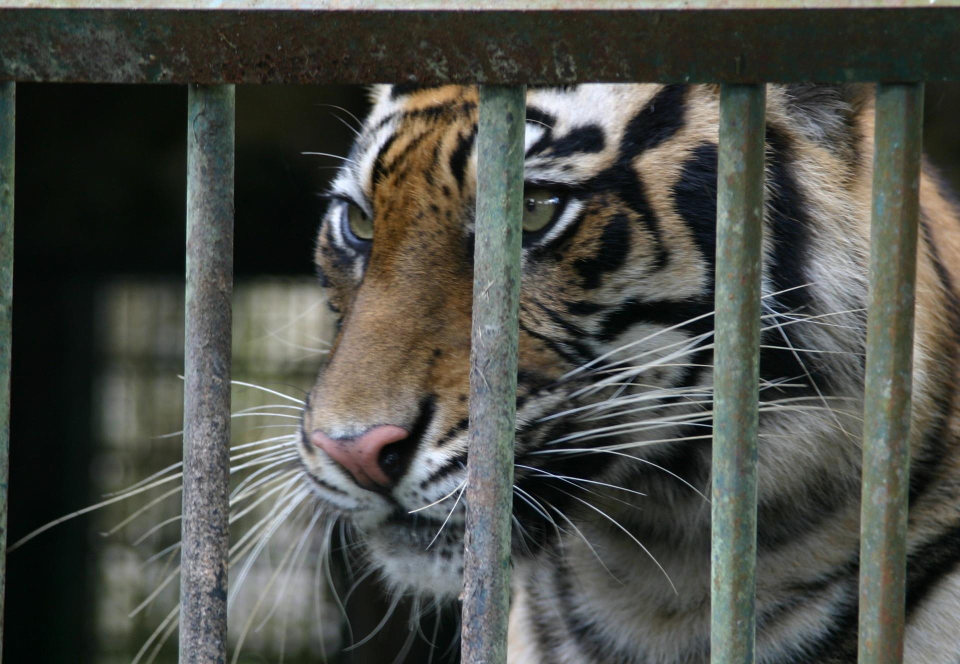 Tigerhandel in Indonesien