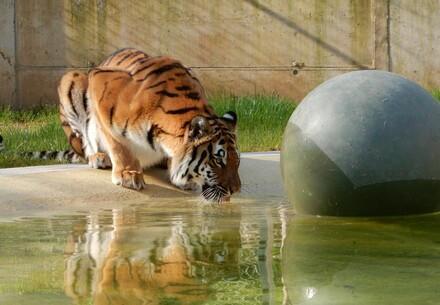 Tigress Cara TIERART Wild Animal Sanctuary