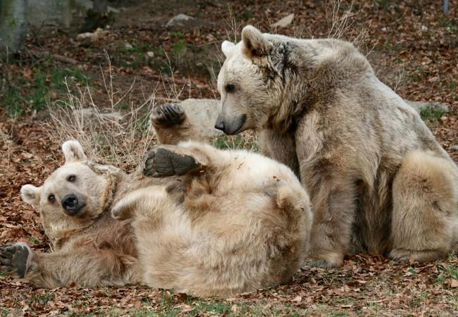 Two rescued brown bears playing in forest at sanctuary