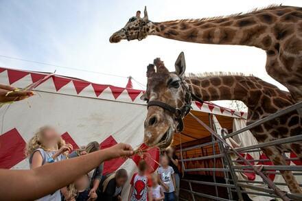Giraffen im Zirkus