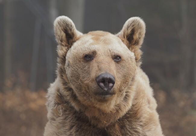 Profil von Braunbär Tom, bräunlicher Hintergrund