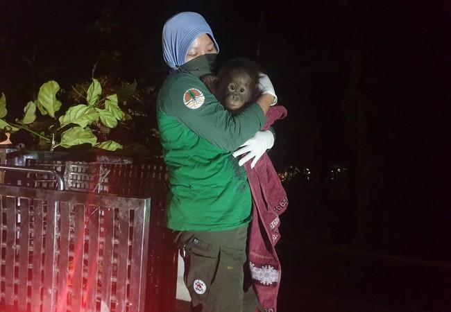 The orangutan baby was handed over to the forest school team after a dramatic rescue.