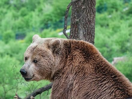 Brown bear Ero