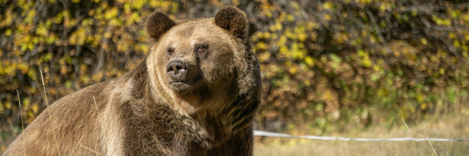 Bär Teddy im TANZBÄRENPARK Belitsa