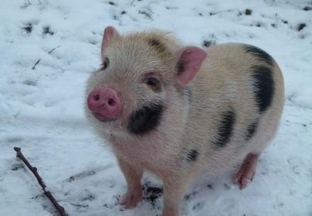 pot-bellied pig in snow