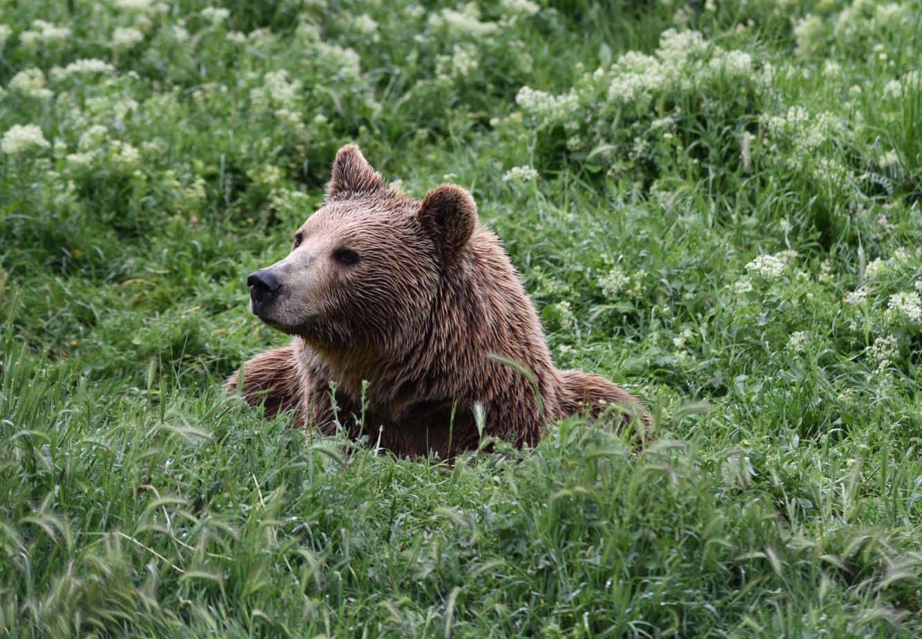 Bear Anik at BEAR SANCTUARY Prishtina