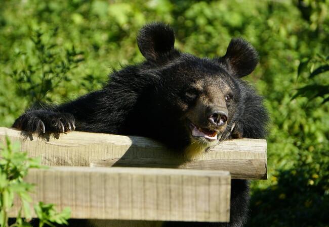 Bär Cuc hat alles im Blick