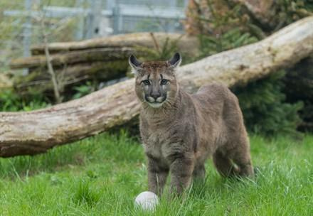 Puma in the enclosure