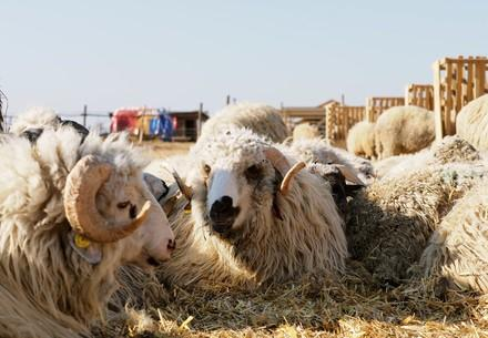 Rescued Sheep in Romania