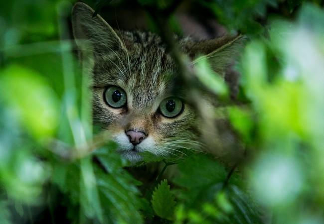 Wildkatze in der Grosskatzenstation TIERART