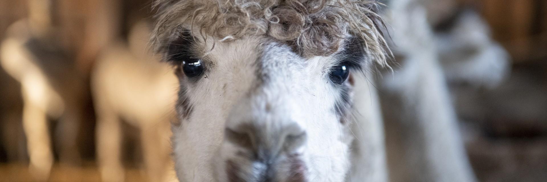 Красива овца