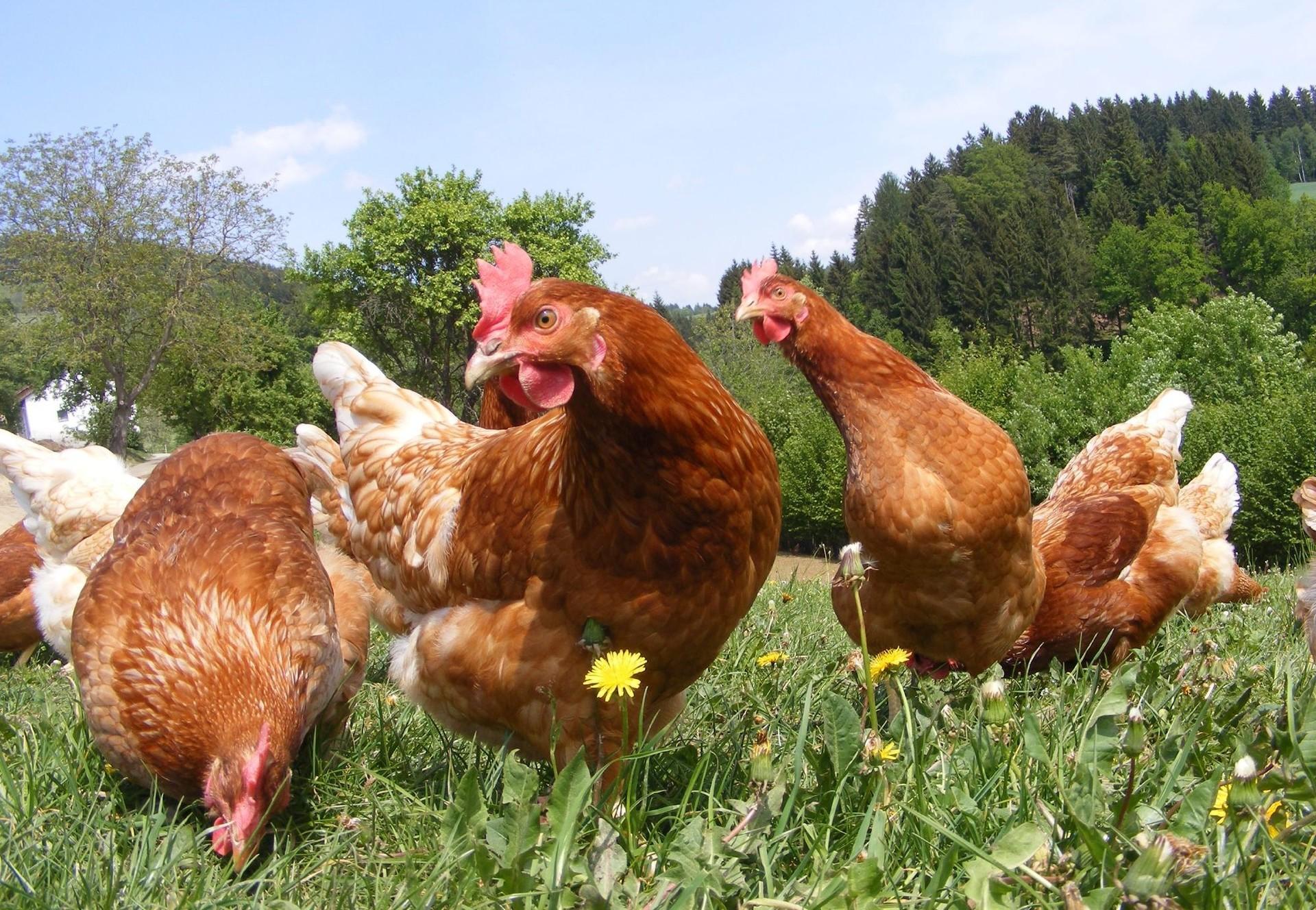 Biohaltung Hühner