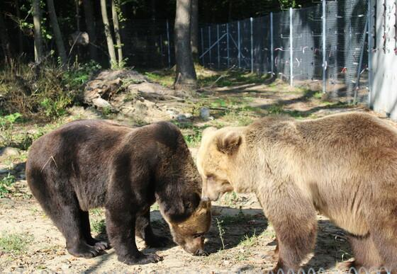 Leo and Melanka at BEAR SANCTUARY Domazhyr