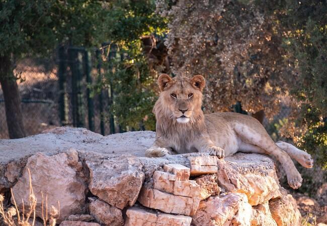 Löwe im Tierschutzzentrum Al Ma'wa