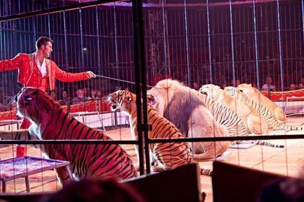 Grosskatzen im Zirkus