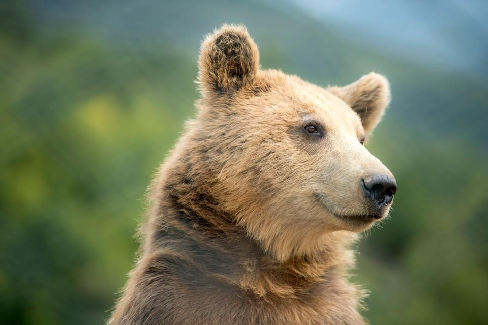 Brown bear Gjina