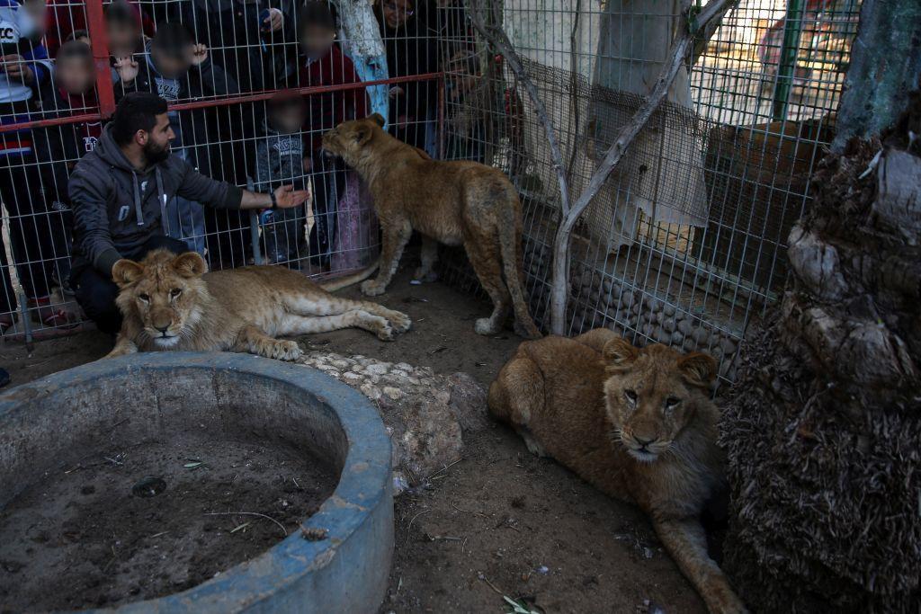 Löwen werden vorgeführt, und wenn nötig, Krallen einfach abgeschnitten (c) VIER PFOTEN