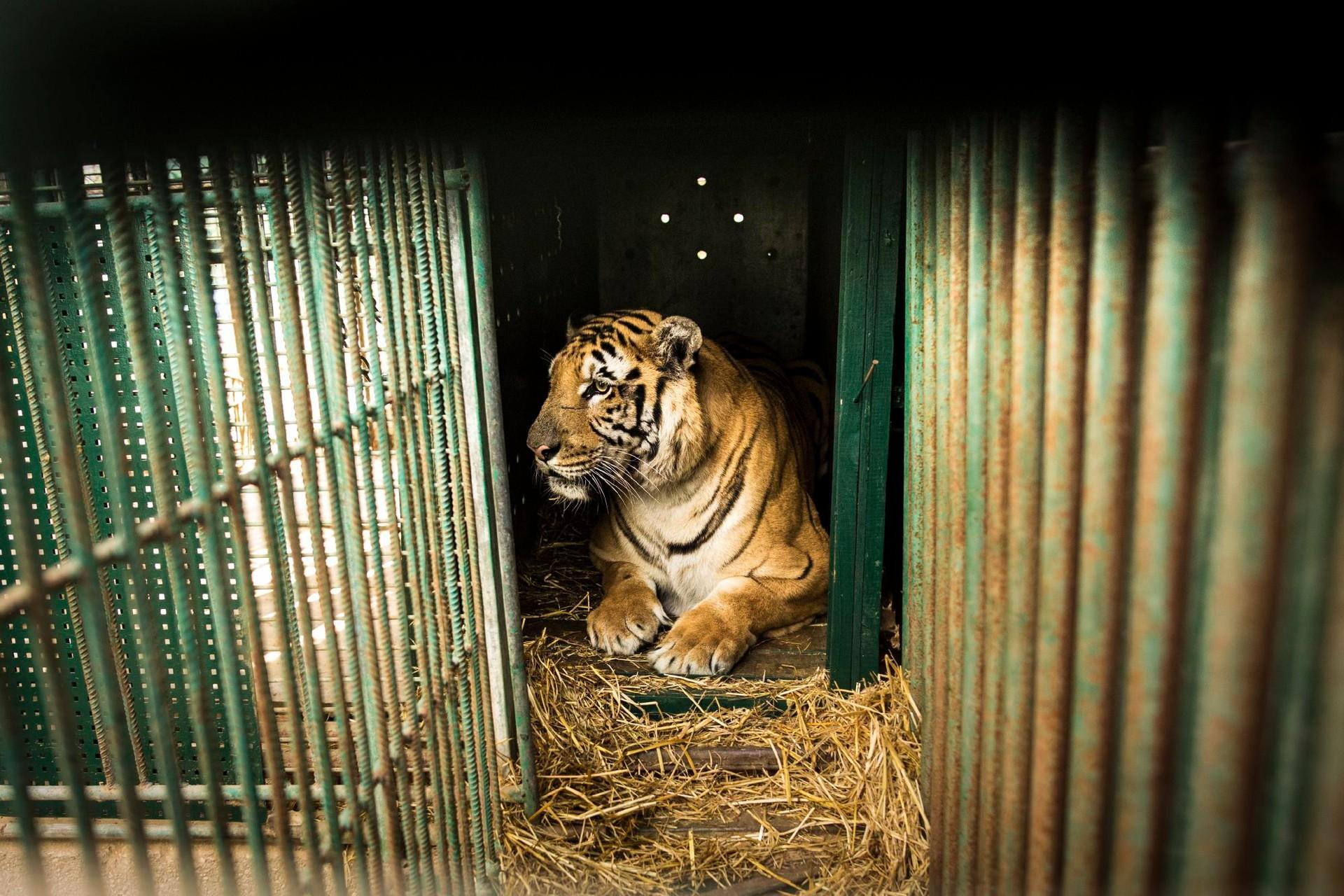 Tiger in cage in Gaza