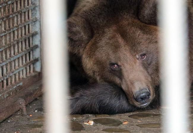 une ourse couchée dans sa cage avant son sauvetage