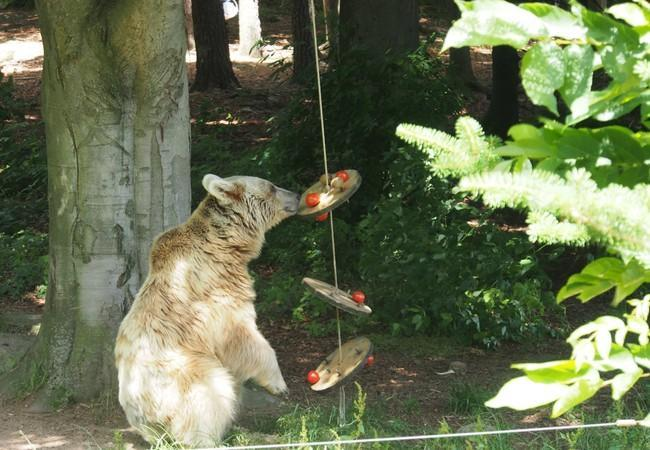 bear trying to get food from enrichment