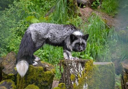 Jackson, un renard sauvé par QUATRE PATTES