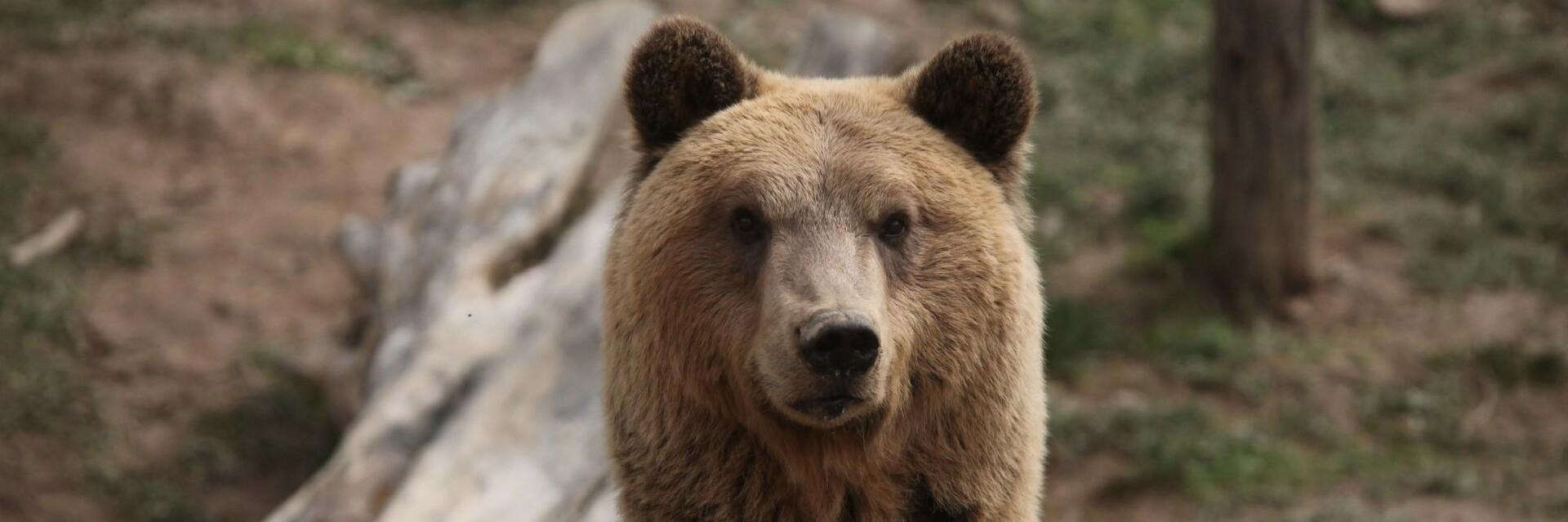 Bear Tomi