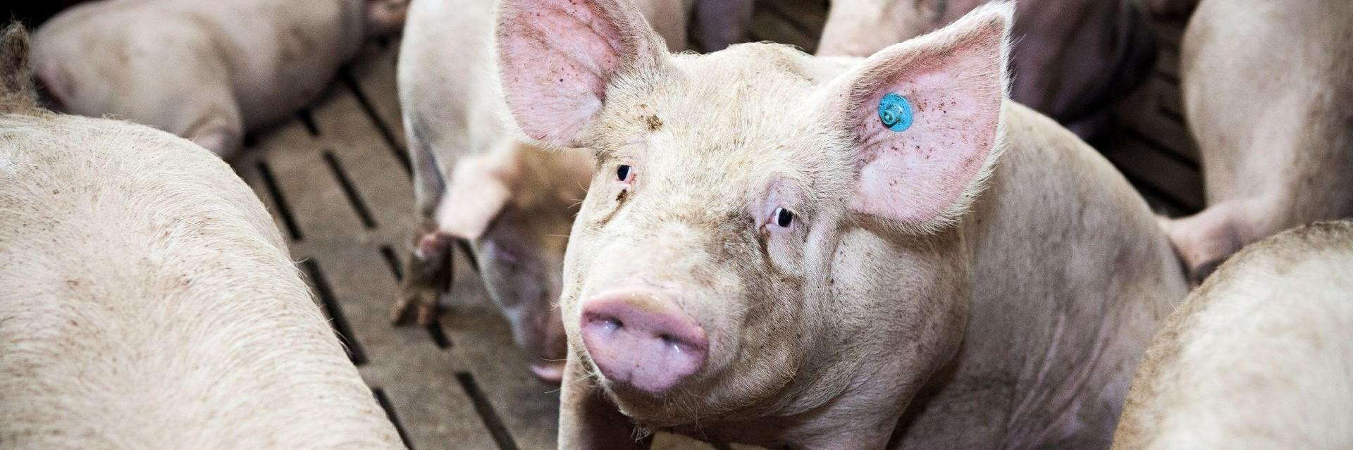 Schwein auf Vollspaltenboden in Österreich