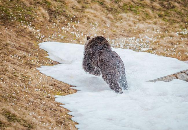 Bärin Jambolina spielt im Schnee im Arosa Bärenland