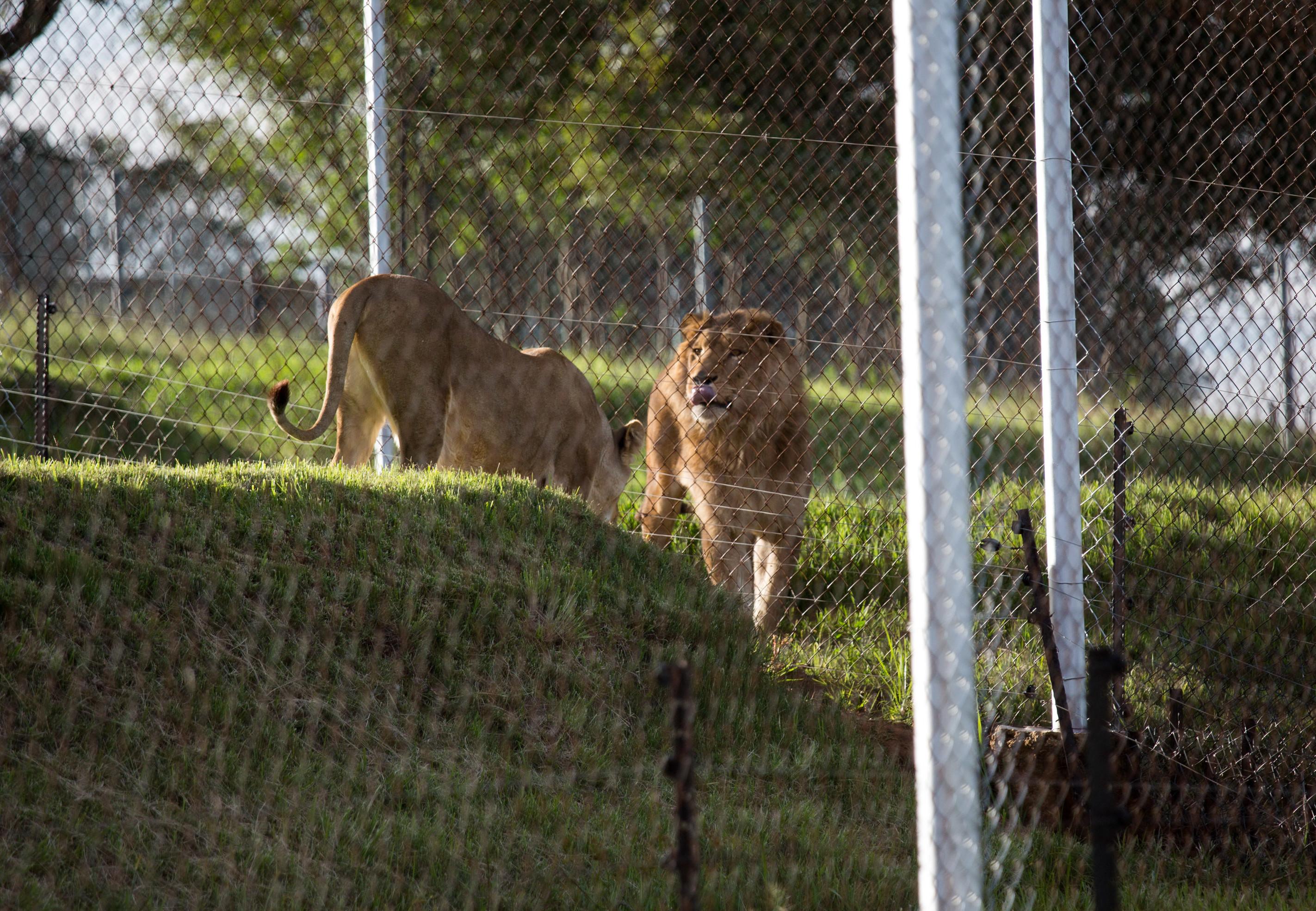 Lions Saeed and Simba