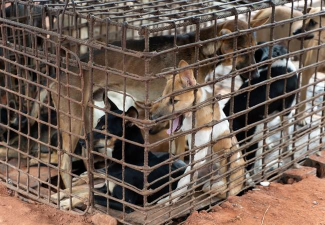 Les chiens ont souffert dans des cages étroites.