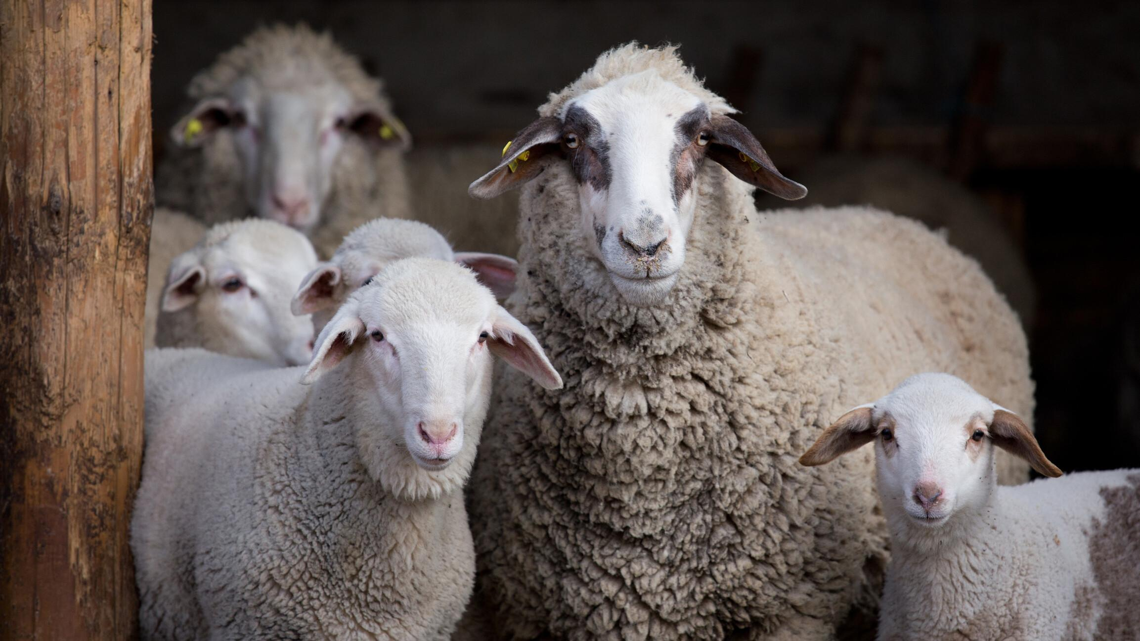 Sheep flock with lambs standing in barn