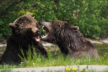 Bärin Emma und Bär Erich raufen im Teich