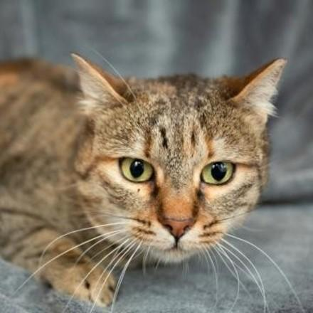 котка Чубака (Cat Chubaka)