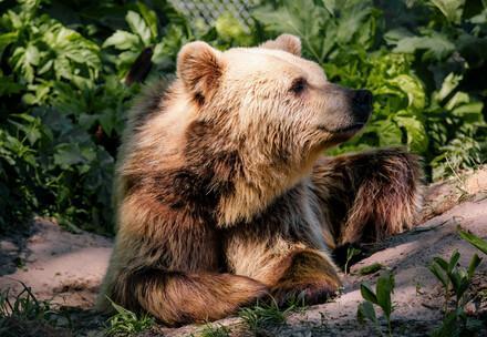 Bear Bodia