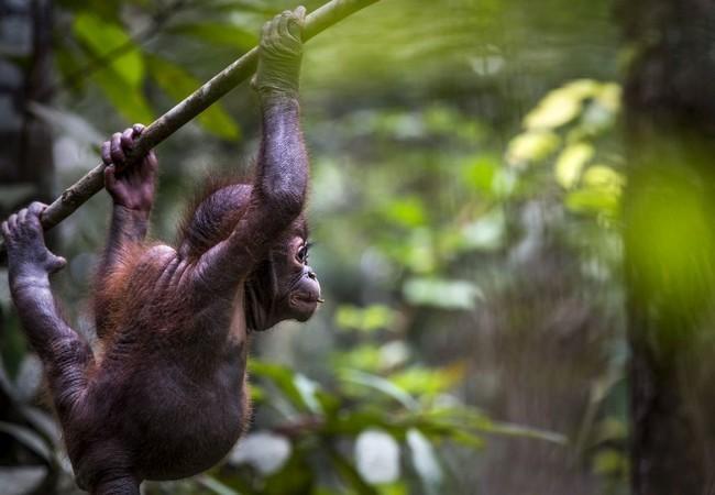 Orang-Utan Gerhana hängt an einem Ast