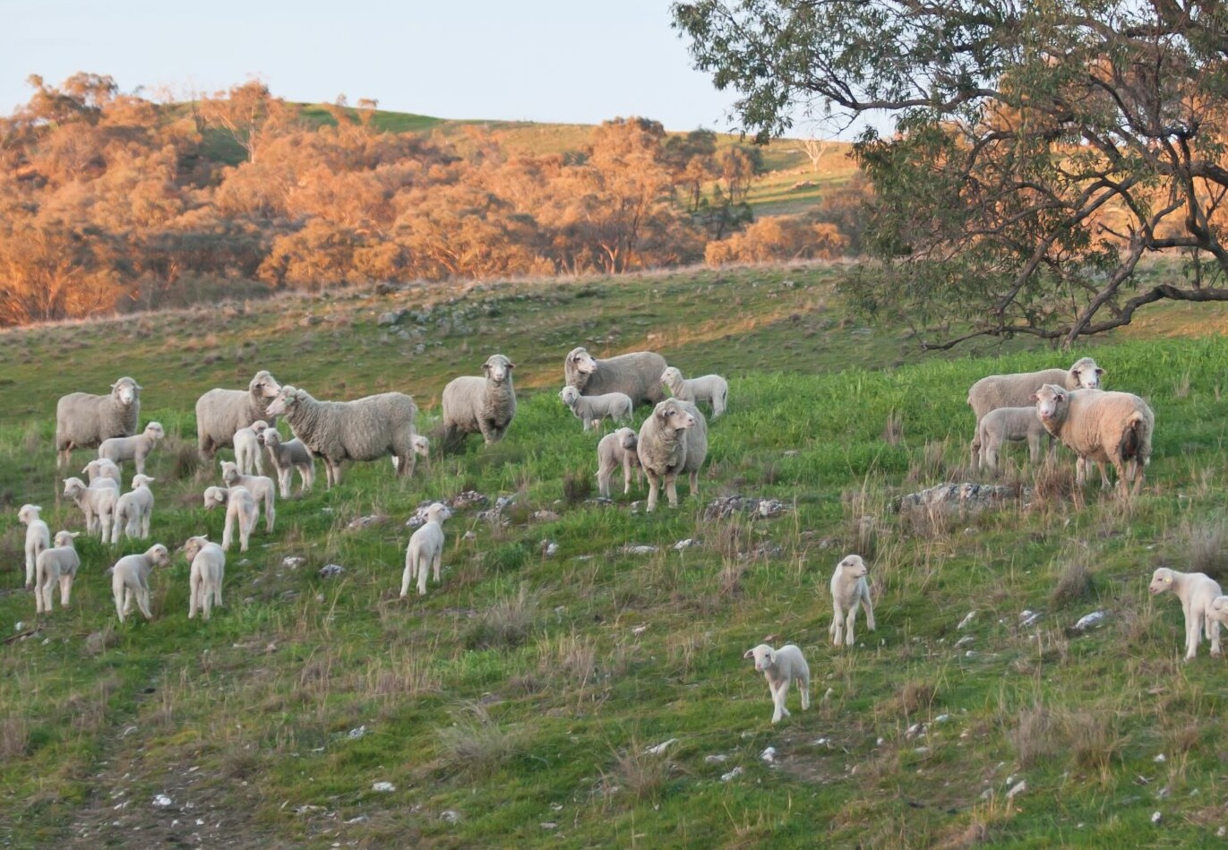 Sheep with lambs in Australia