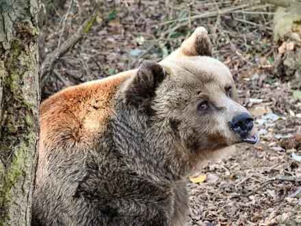 Braunbär Otto