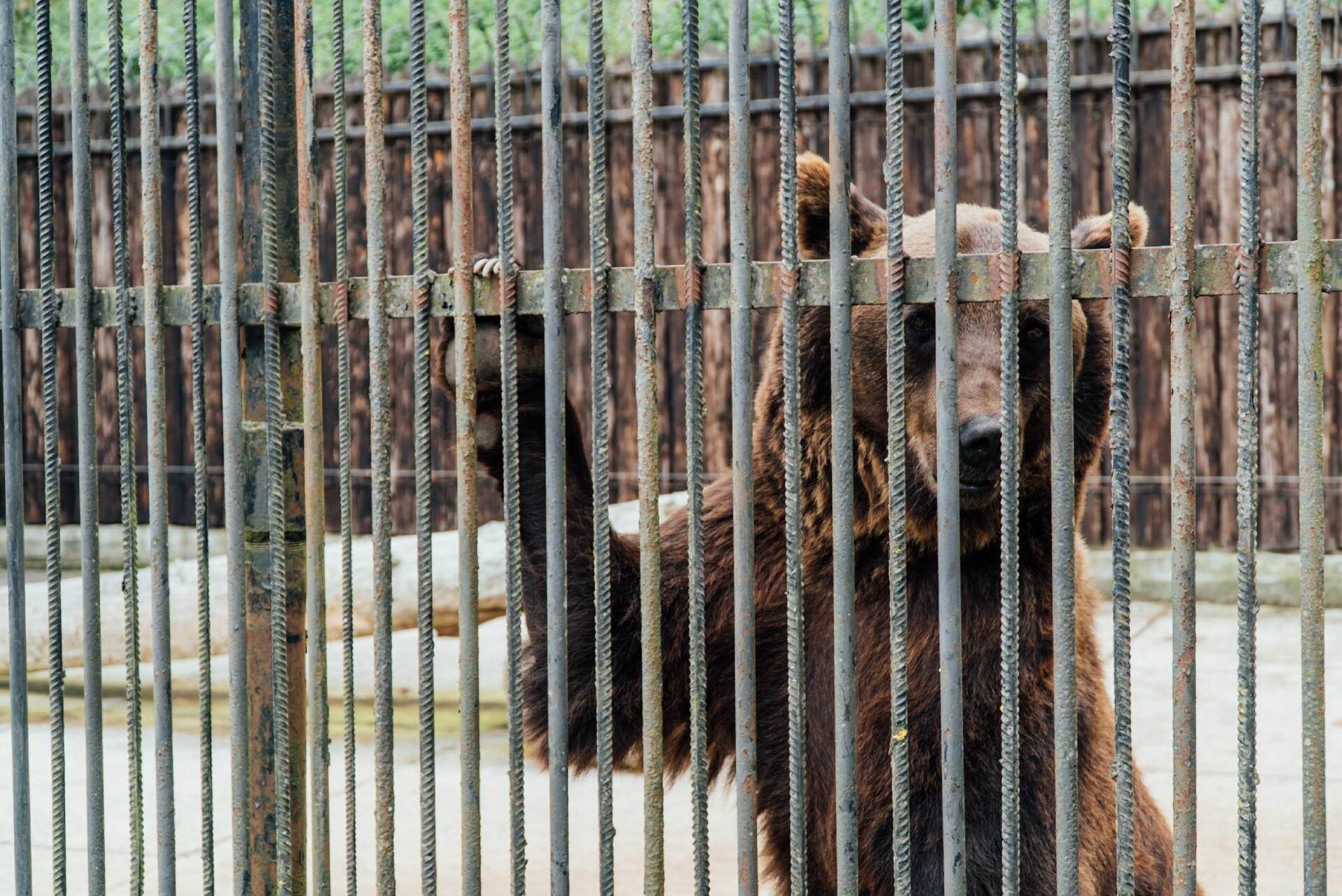 Ukrainian bear Leo & Melanka in a captivity