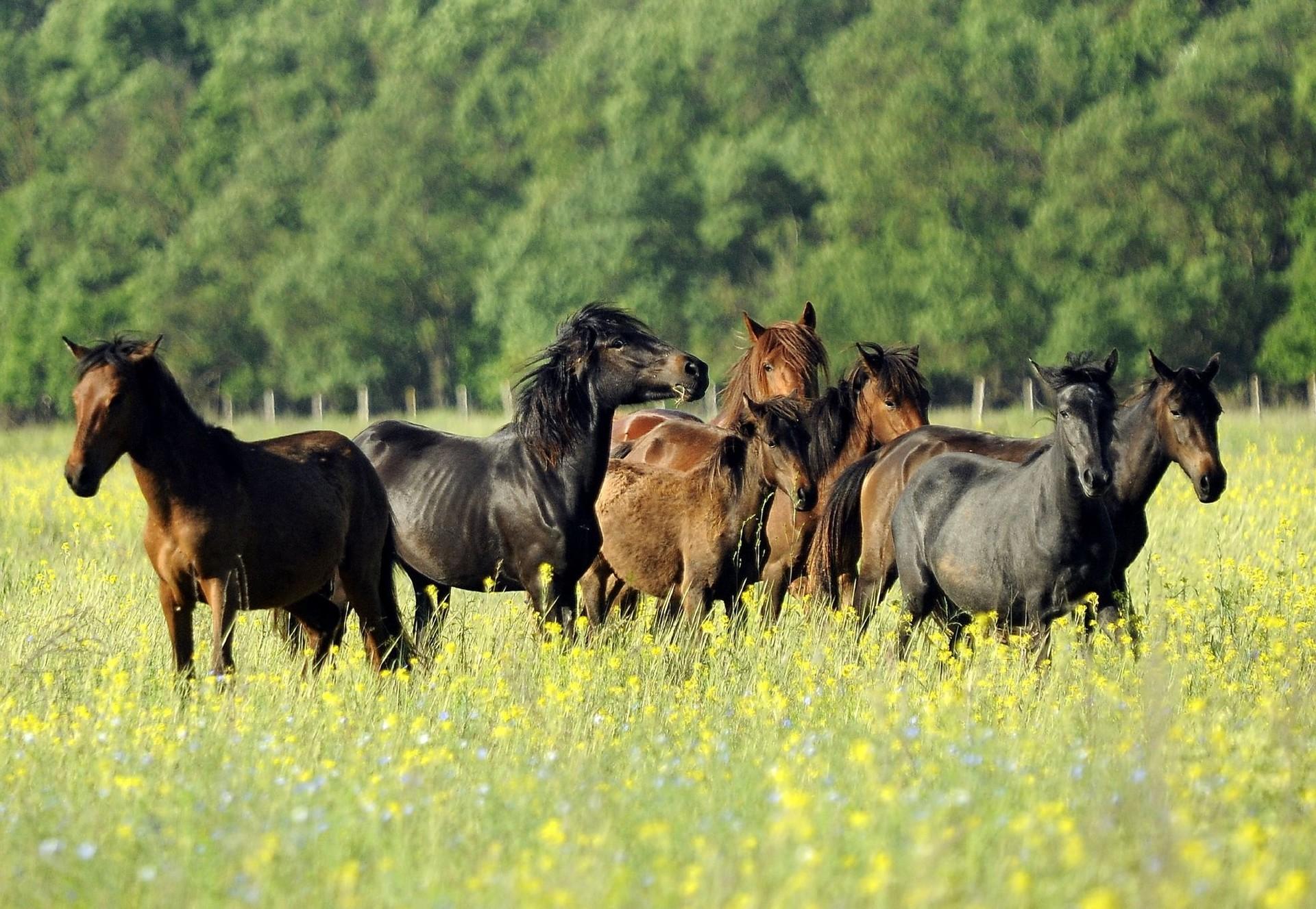 Wildpferde im rumänischen Donaudelta