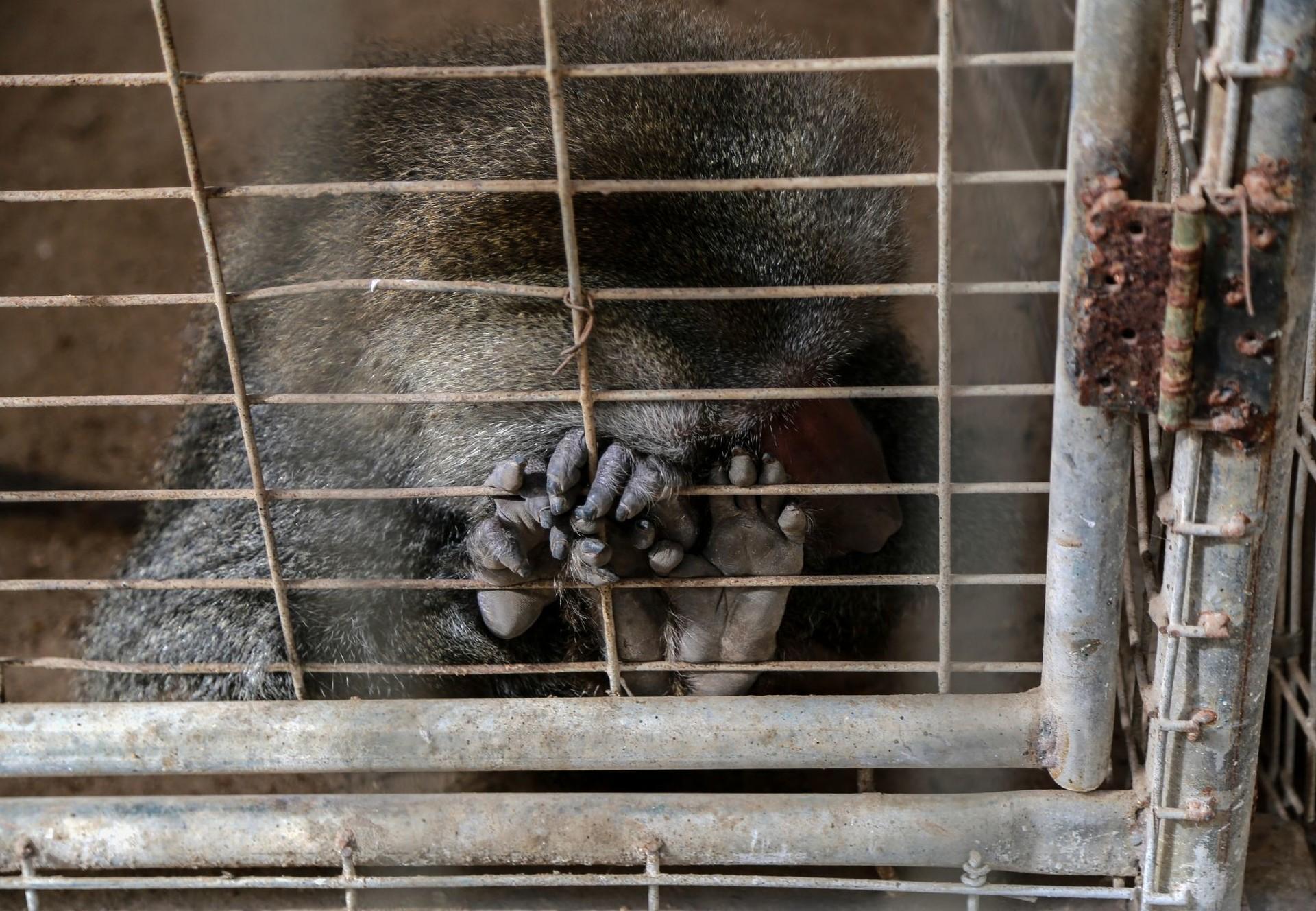 Affe in Rafah Zoo