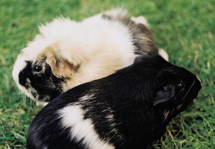 L'élevage des cochons d'Inde en groupe
