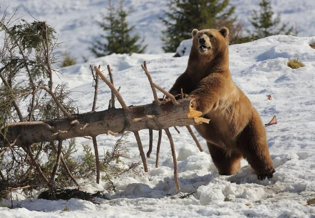 Bär Napa im Schnee