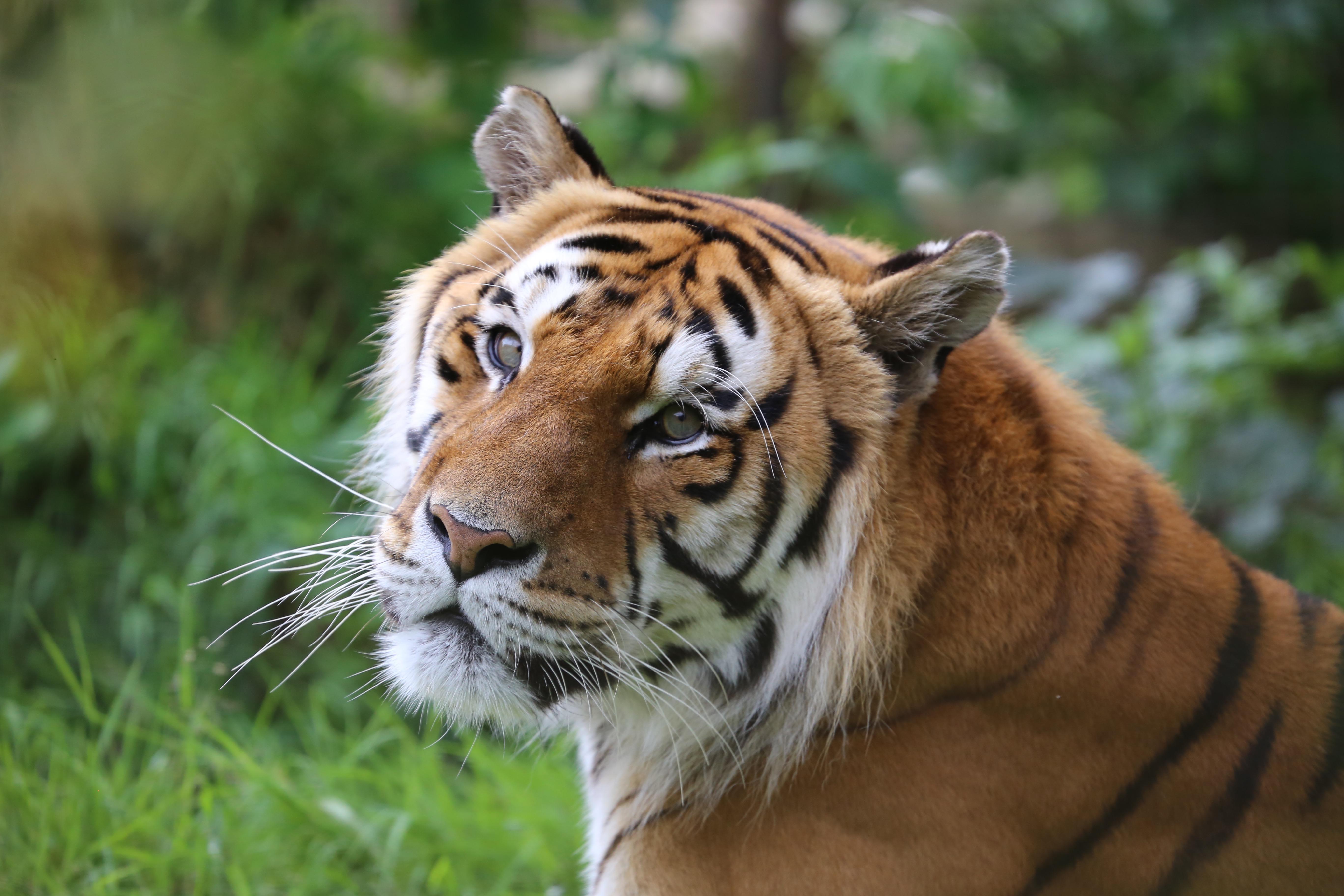 Tiger Caruso at FELIDA 2017