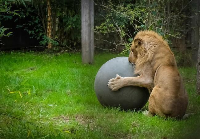 Löwe genießt die Freiheit in Felida