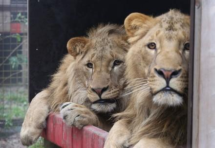 Lions Masoud and Terez at FELIDA