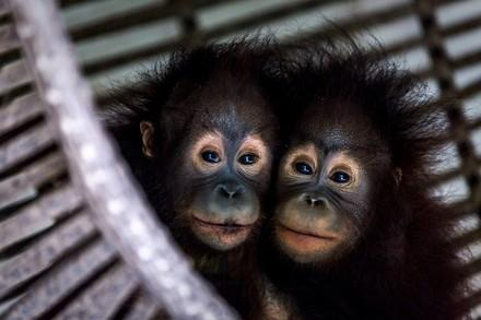 Two orphaned orangutans