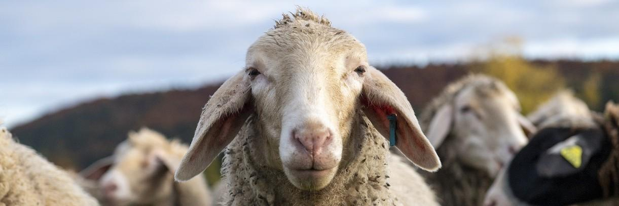 Protect lambs from the suffering of Mulesing!