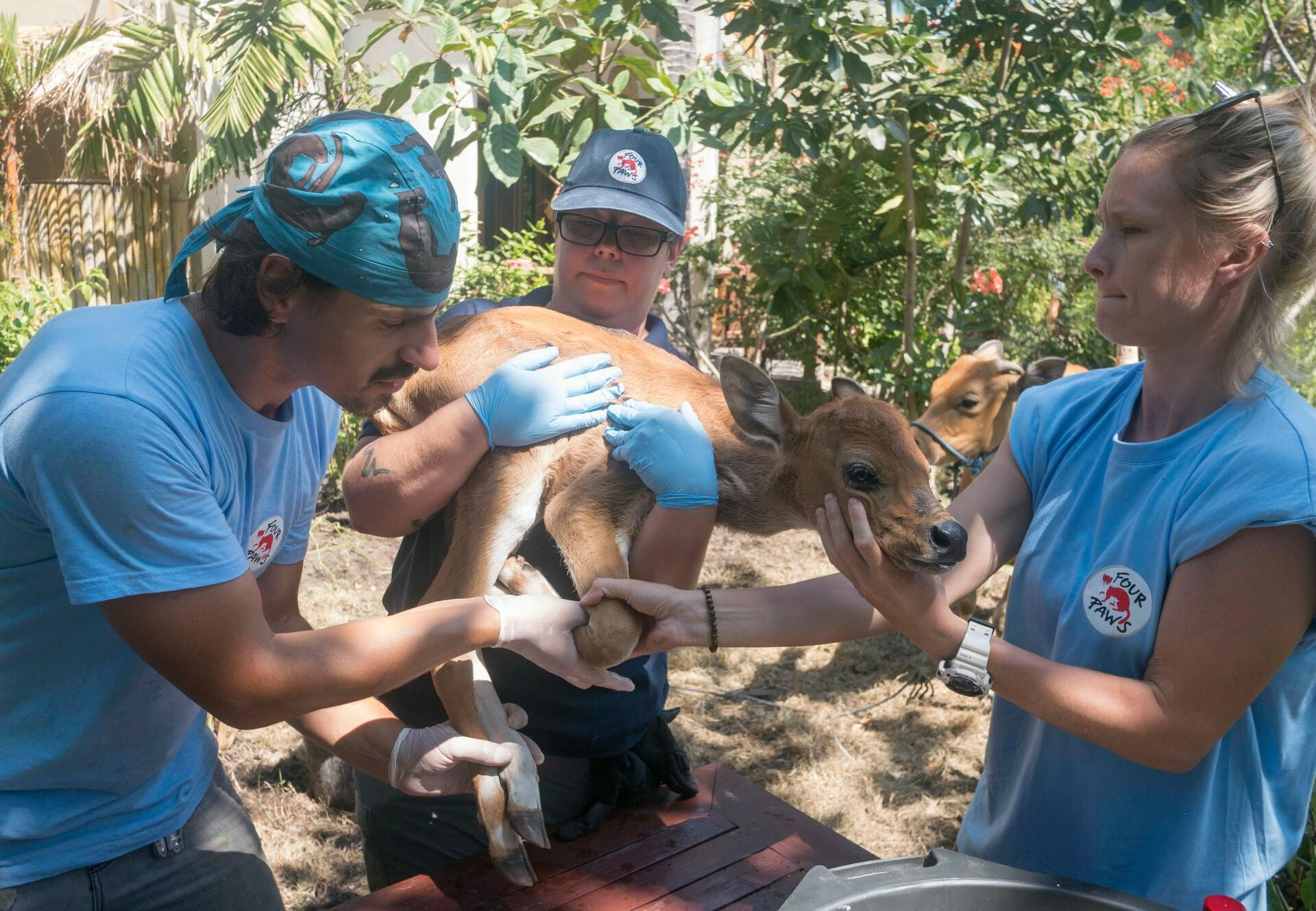 Medical care for a calf