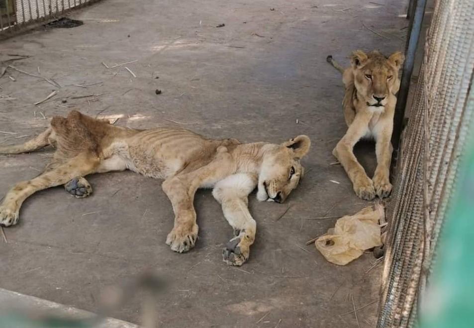 Uitgemergelde leeuwen in Soedan